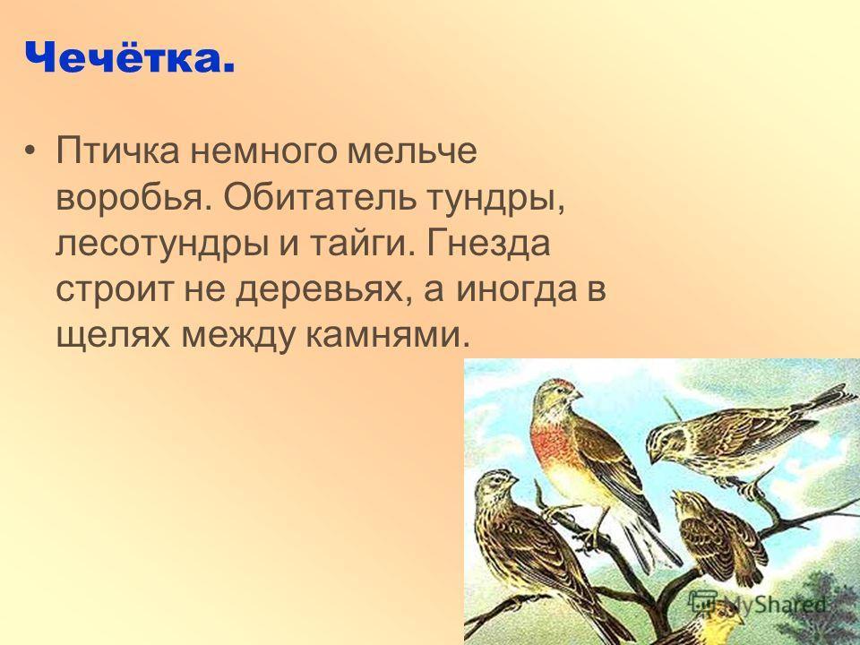 Чечётка. Птичка немного мельче воробья. Обитатель тундры, лесотундры и тайги. Гнезда строит не деревьях, а иногда в щелях между камнями.
