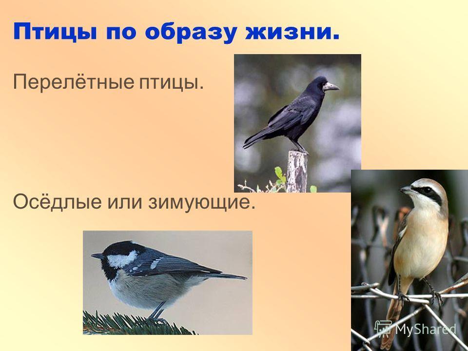 Птицы по образу жизни. Перелётные птицы. Осёдлые или зимующие.