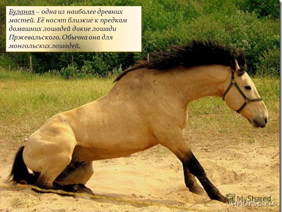 Буланая – одна из наиболее древних мастей. Её носят близкие к предкам домашних лошадей дикие лошади Пржевальского. Обычна она для монгольских лошадей.