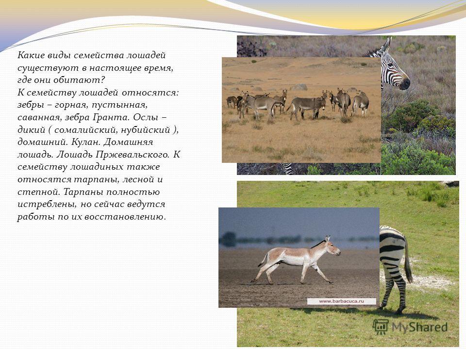 Какие виды семейства лошадей существуют в настоящее время, где они обитают? К семейству лошадей относятся: зебры – горная, пустынная, саванная, зебра Гранта. Ослы – дикий ( сомалийский, нубийский ), домашний. Кулан. Домашняя лошадь. Лошадь Пржевальск