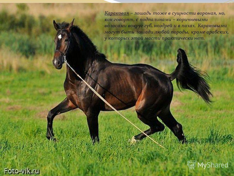 Караковая – лошадь тоже в сущности вороная, но, как говорят, с подпалинами – коричневыми волосами вокруг губ, ноздрей и в пахах. Караковыми могут быть лошади любой породы, кроме арабских, у которых этой масти практически нет.