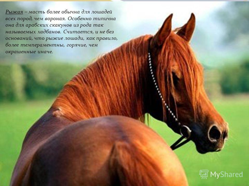 Рыжая – масть более обычна для лошадей всех пород, чем вороная. Особенно типична она для арабских скакунов из рода так называемых хадбанов. Считается, и не без оснований, что рыжие лошади, как правило, более темпераментны, горячие, чем окрашенные ина