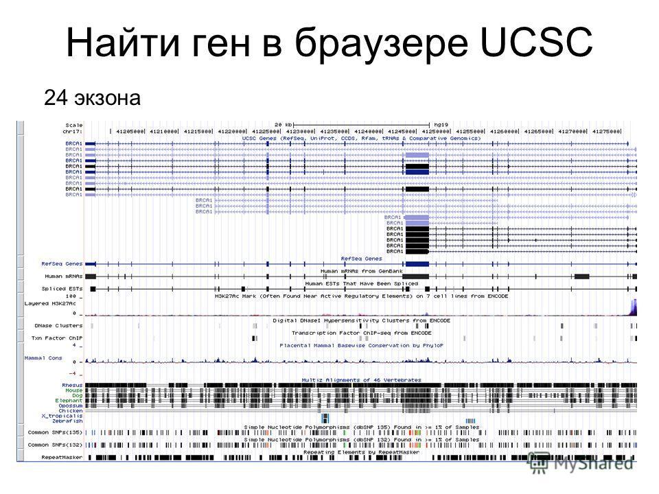 Найти ген в браузере UCSC 24 экзона