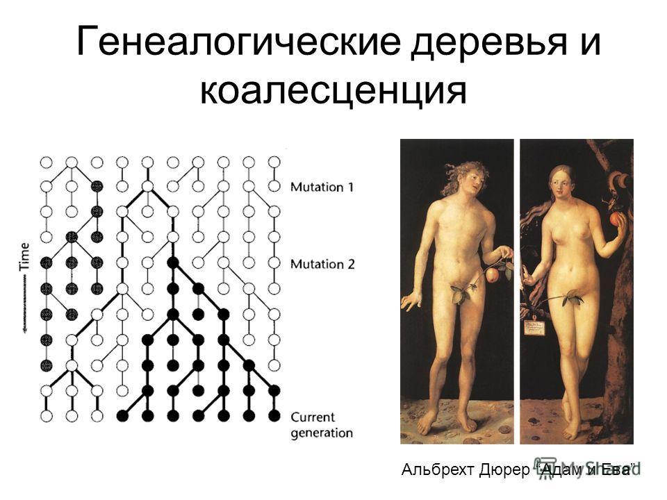 Генеалогические деревья и коалесценция Альбрехт Дюрер Адам и Ева