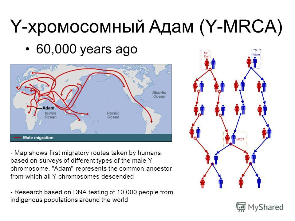 Y-хромосомный Адам (Y-MRCA) 60,000 years ago - Map shows first migratory routes taken by humans, based on surveys of different types of the male Y chromosome.