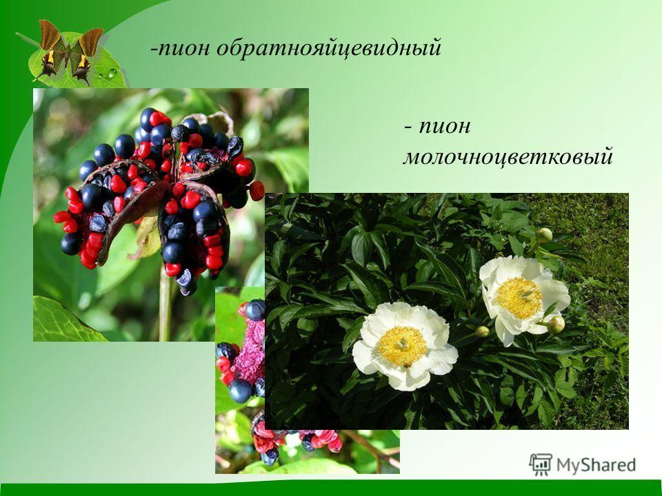 -пион обратнояйцевидный - пион молочноцветковый