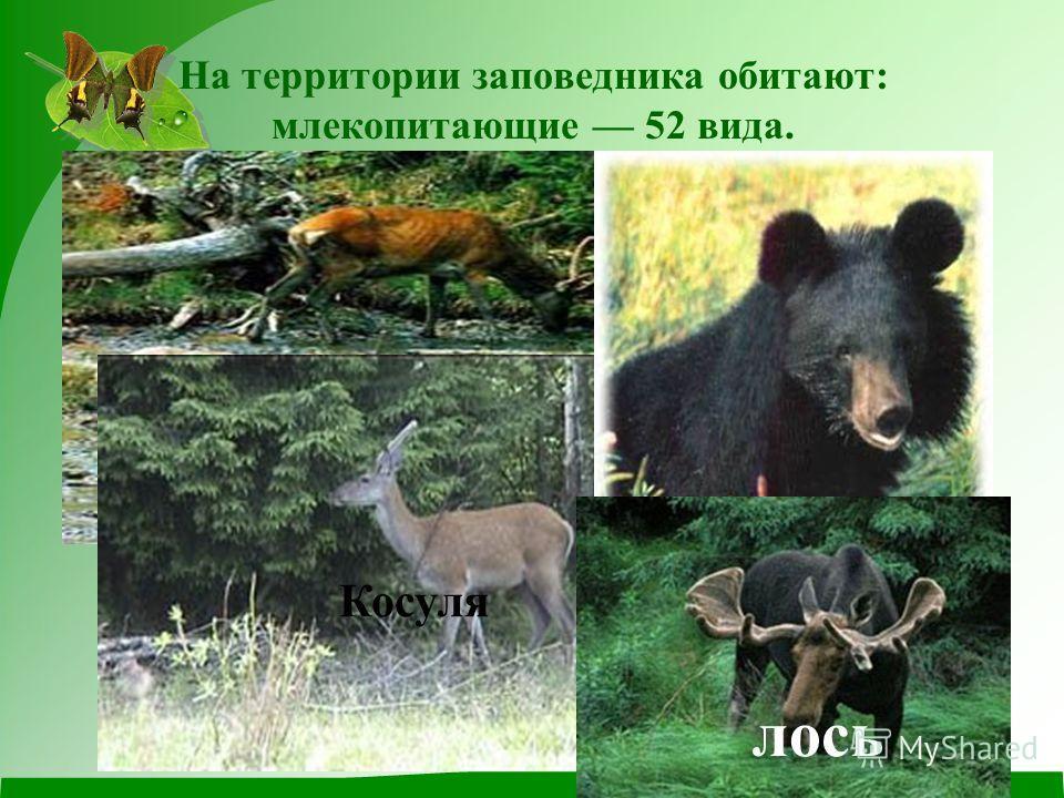 На территории заповедника обитают: млекопитающие 52 вида. Изюбр Косуля медведь лось