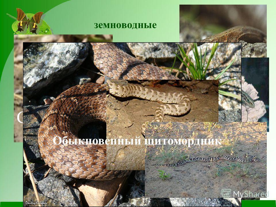земноводные Сибирская лягушка Сибирский углозуб Живородящая ящерица Обыкновенный щитомордник
