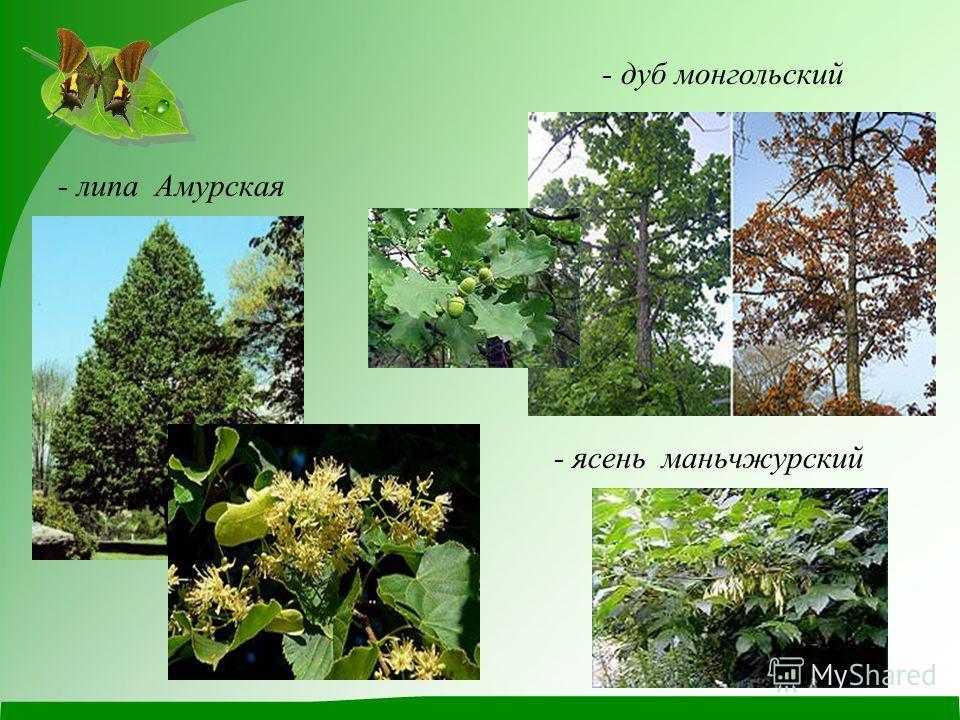 - липа Амурская - дуб монгольский - ясень маньчжурский