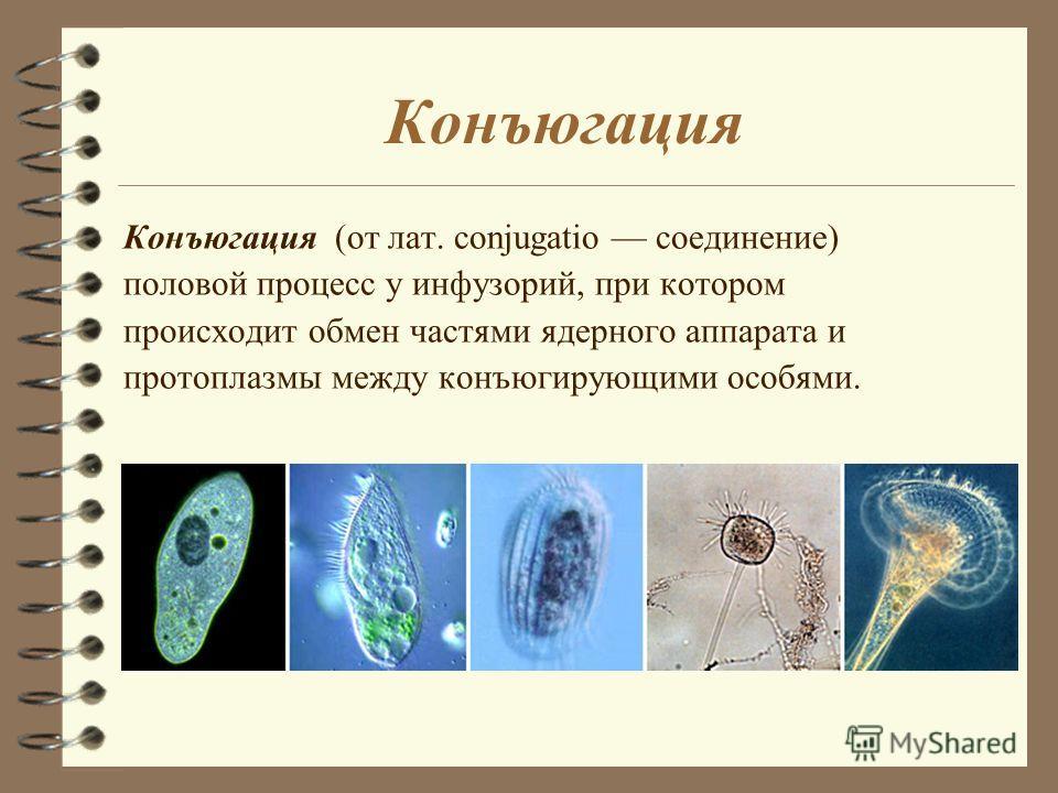 Конъюгация Конъюгация (от лат. conjugatio соединение) половой процесс у инфузорий, при котором происходит обмен частями ядерного аппарата и протоплазмы между конъюгирующими особями.