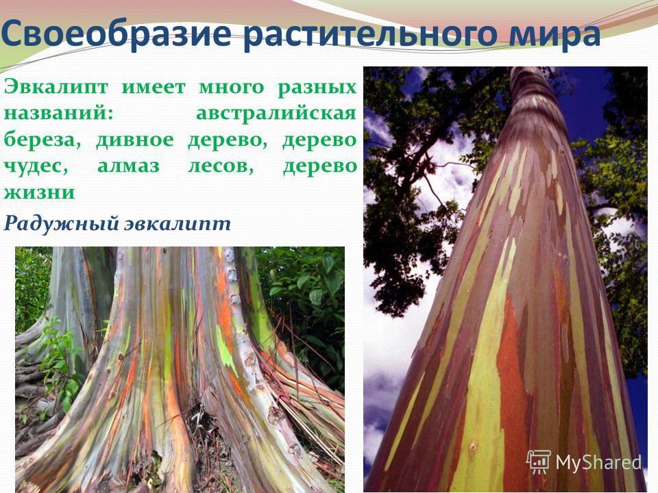 Своеобразие растительного мира Эвкалипт имеет много разных названий: австралийская береза, дивное дерево, дерево чудес, алмаз лесов, дерево жизни Радужный эвкалипт