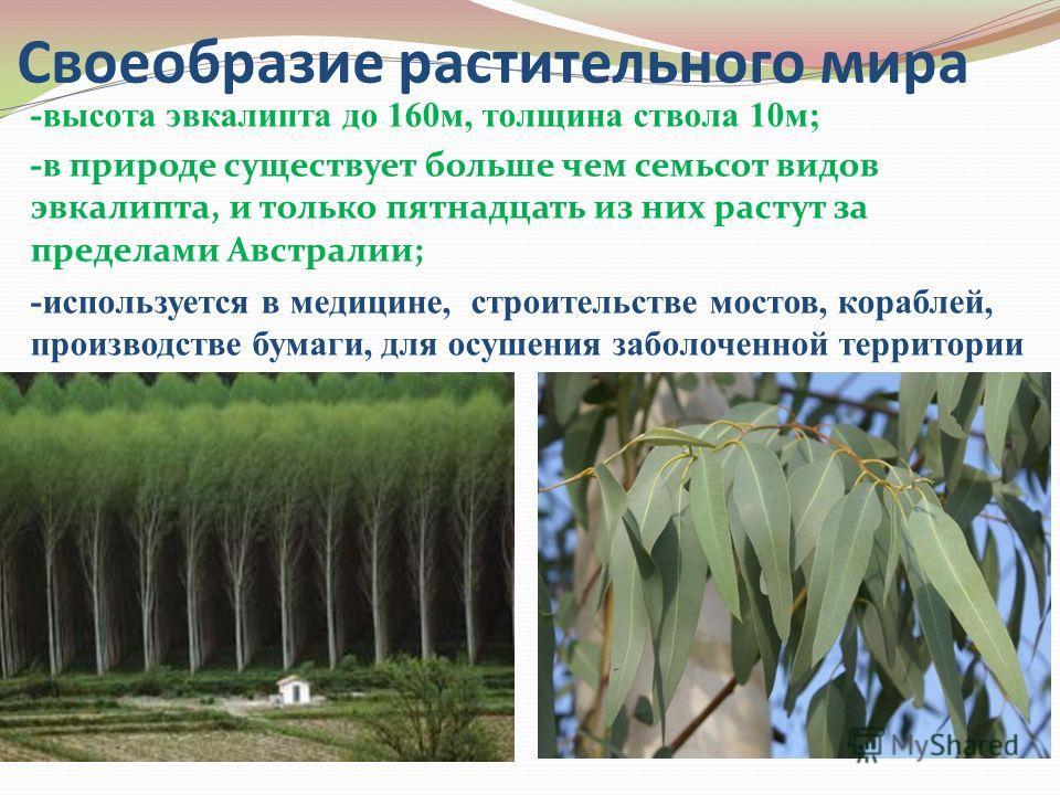 Своеобразие растительного мира -высота эвкалипта до 160м, толщина ствола 10м; -в природе существует больше чем семьсот видов эвкалипта, и только пятнадцать из них растут за пределами Австралии; -используется в медицине, строительстве мостов, кораблей