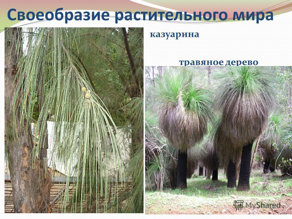 Своеобразие растительного мира казуарина травяное дерево