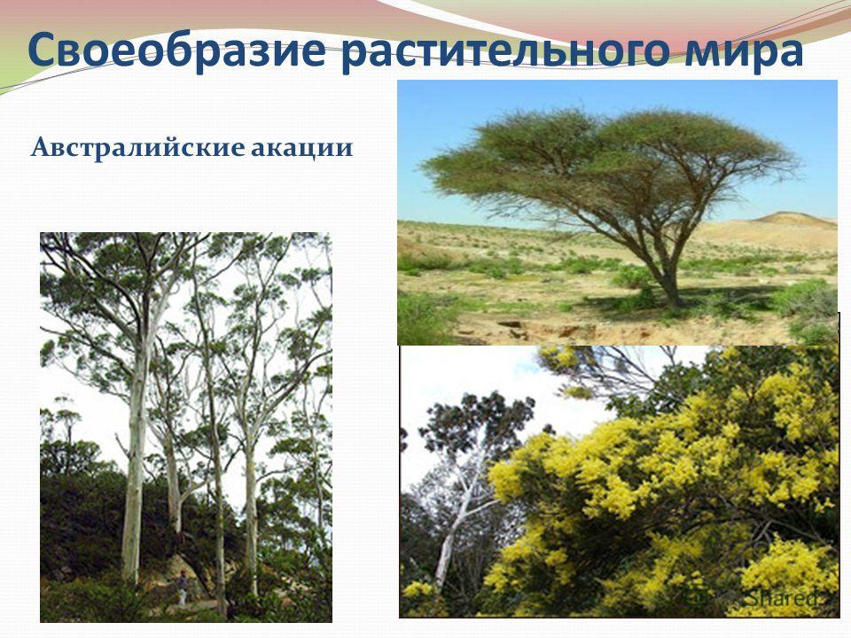 Своеобразие растительного мира Австралийские акации