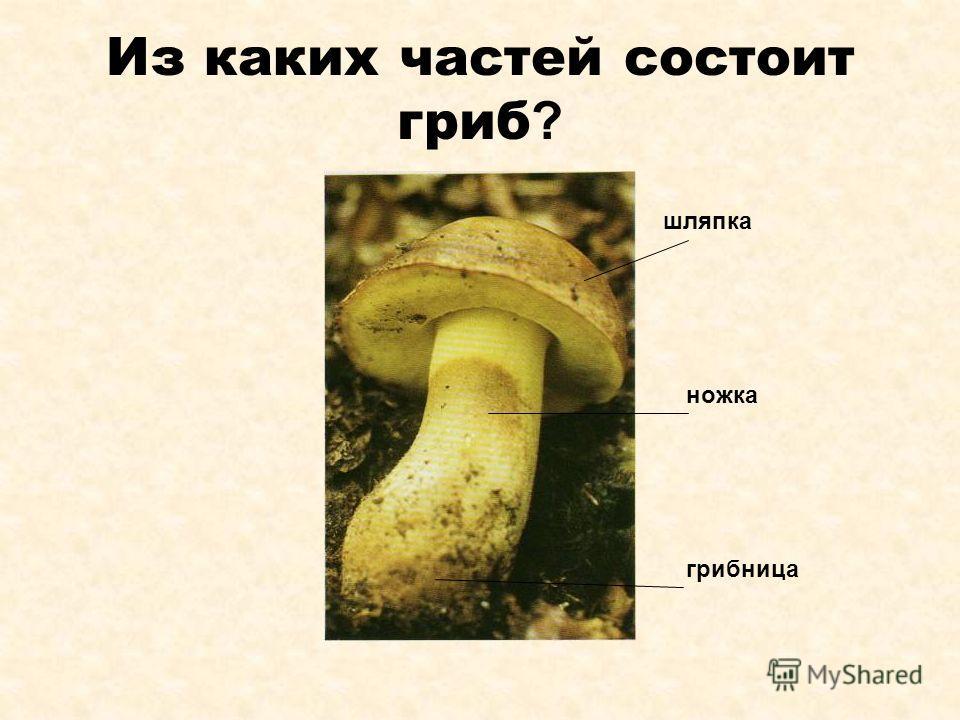 Из каких частей состоит гриб ? шляпка ножка грибница
