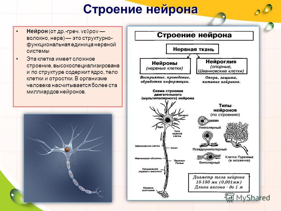 Строение нейрона Нейрон (от др.-греч. νε ρον волокно, нерв) это структурно- функциональная единица нервной системы Эта клетка имеет сложное строение, высокоспециализирована и по структуре содержит ядро, тело клетки и отростки. В организме человека на