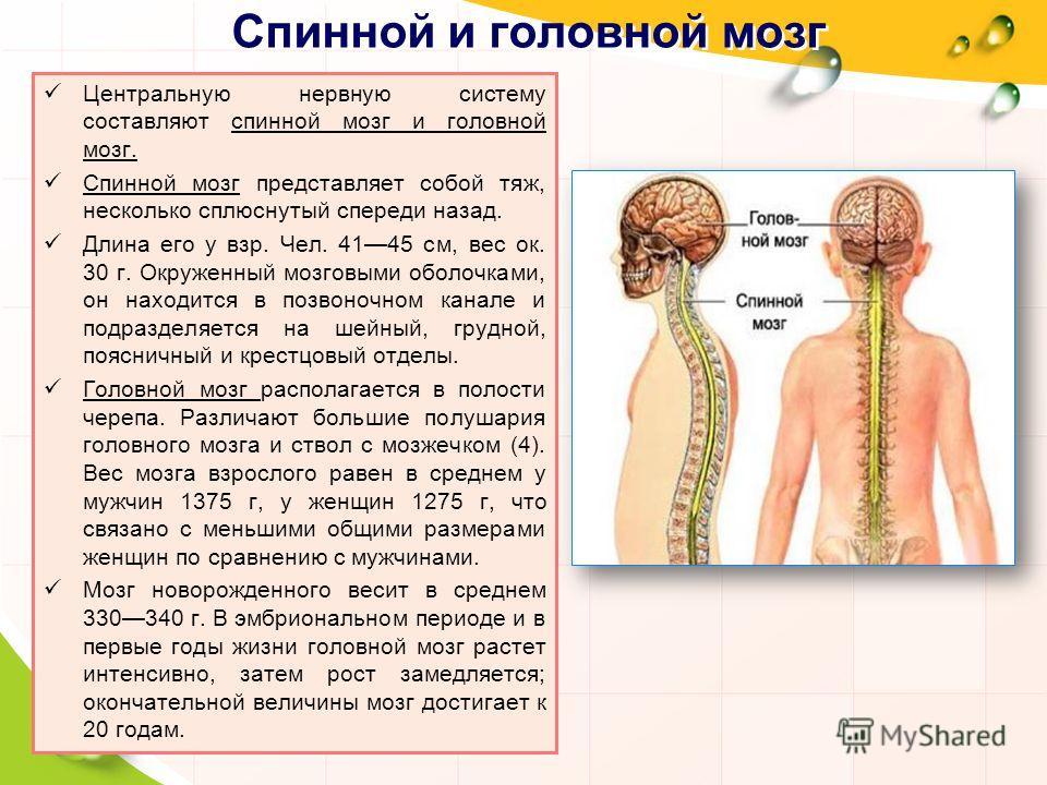 Спинной и головной мозг Центральную нервную систему составляют спинной мозг и головной мозг. Спинной мозг представляет собой тяж, несколько сплюснутый спереди назад. Длина его у взр. Чел. 4145 см, вес ок. 30 г. Окруженный мозговыми оболочками, он нах