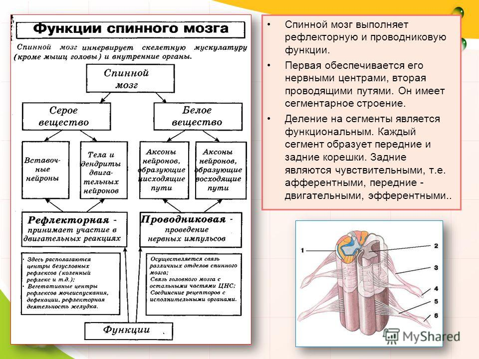 Спинной мозг выполняет рефлекторную и проводниковую функции. Первая обеспечивается его нервными центрами, вторая проводящими путями. Он имеет сегментарное строение. Деление на сегменты является функциональным. Каждый сегмент образует передние и задни