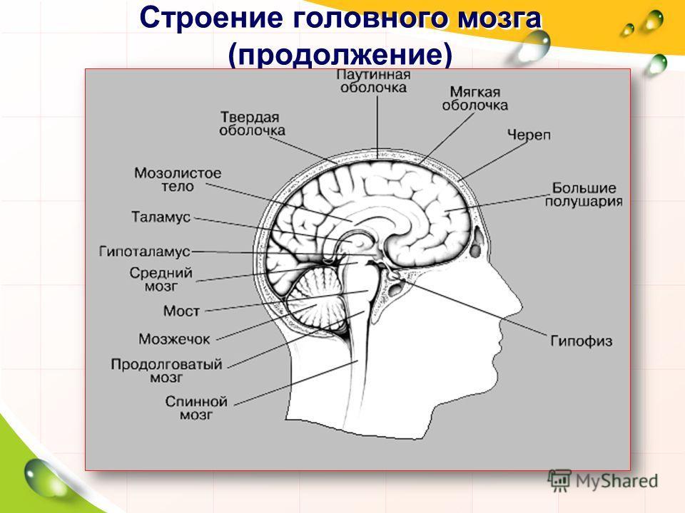 Строение головного мозга (продолжение)