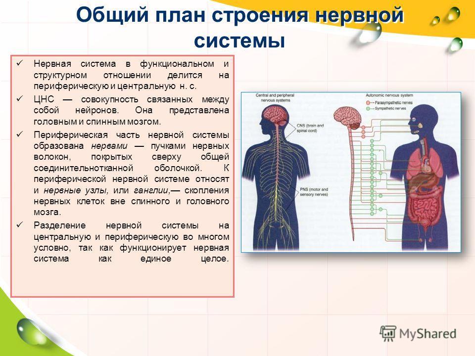 Общий план строения нервной системы Нервная система в функциональном и структурном отношении делится на периферическую и центральную н. с. ЦНС совокупность связанных между собой нейронов. Она представлена головным и спинным мозгом. Периферическая час