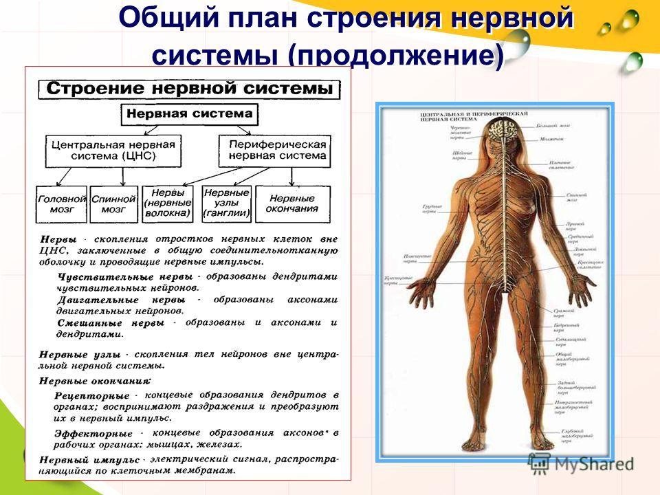 Общий принцип строения нервной системы шпаргалка