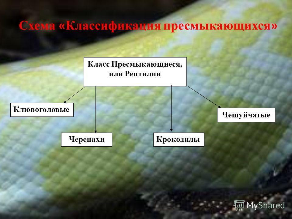 Класс Пресмыкающиеся, или Рептилии Клювоголовые КрокодилыЧерепахи Чешуйчатые Схема « Классификация пресмыкающихся »