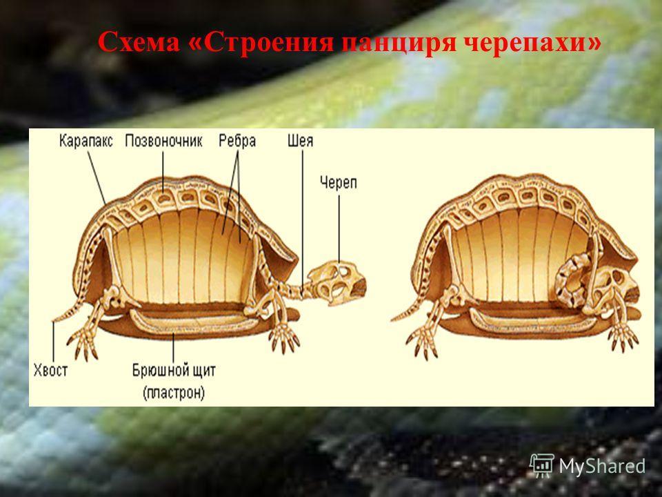 Схема « Строения панциря черепахи »