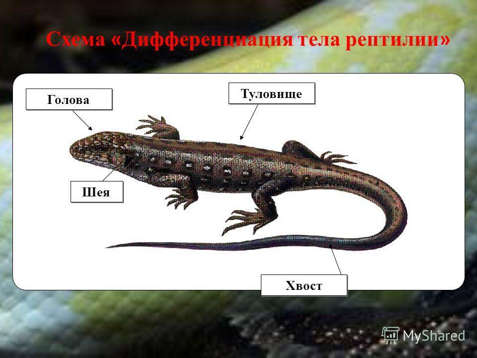 Хвост Туловище Голова Шея Схема « Дифференциация тела рептилии »