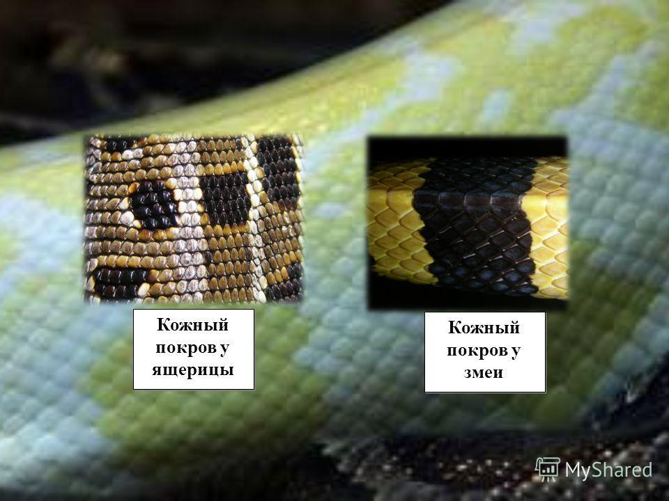 Кожный покров у ящерицы Кожный покров у змеи