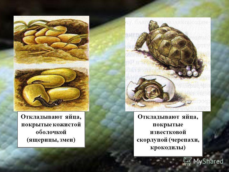 Откладывают яйца, покрытые кожистой оболочкой (ящерицы, змеи) Откладывают яйца, покрытые кожистой оболочкой (ящерицы, змеи) Откладывают яйца, покрытые известковой скорлупой (черепахи, крокодилы)