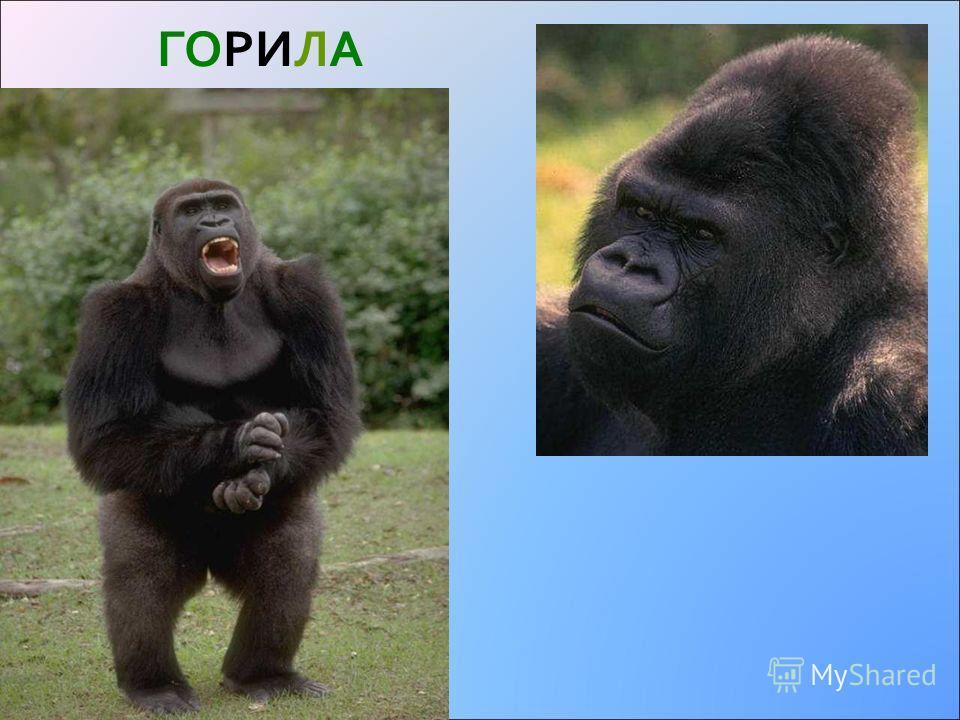 Тваринний світ Горилла Леопард Окапі Шимпанзе