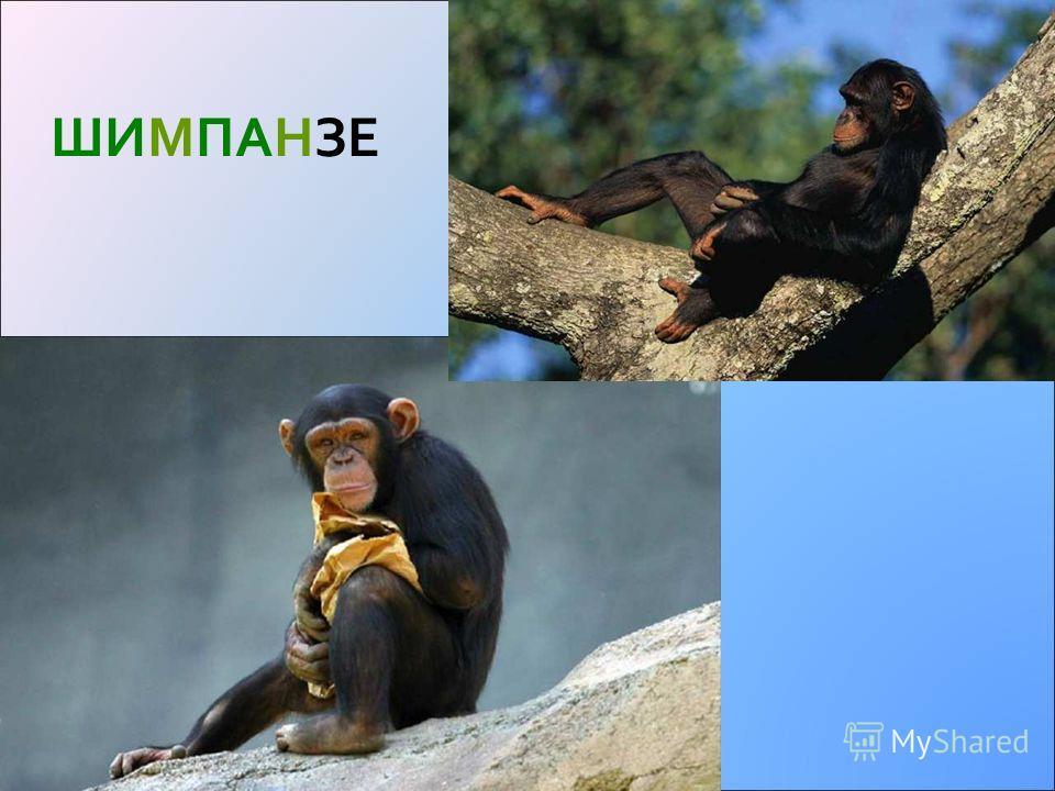 ГОРИЛА Горилла гориллы, как и шимпанзе, относятся к человекообразным обезьянам. Горилла-папа ростом со взрослого человека, но тяжелее вчетверо.