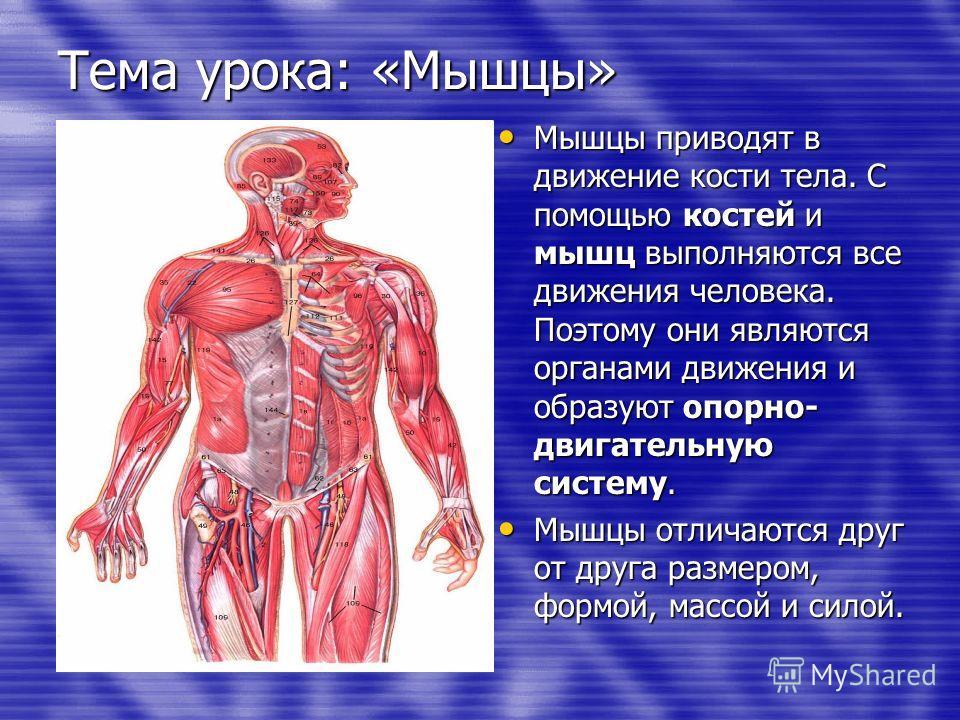 Тема урока: «Мышцы» Мышцы приводят в движение кости тела. С помощью костей и мышц выполняются все движения человека. Поэтому они являются органами движения и образуют опорно- двигательную систему. Мышцы приводят в движение кости тела. С помощью косте