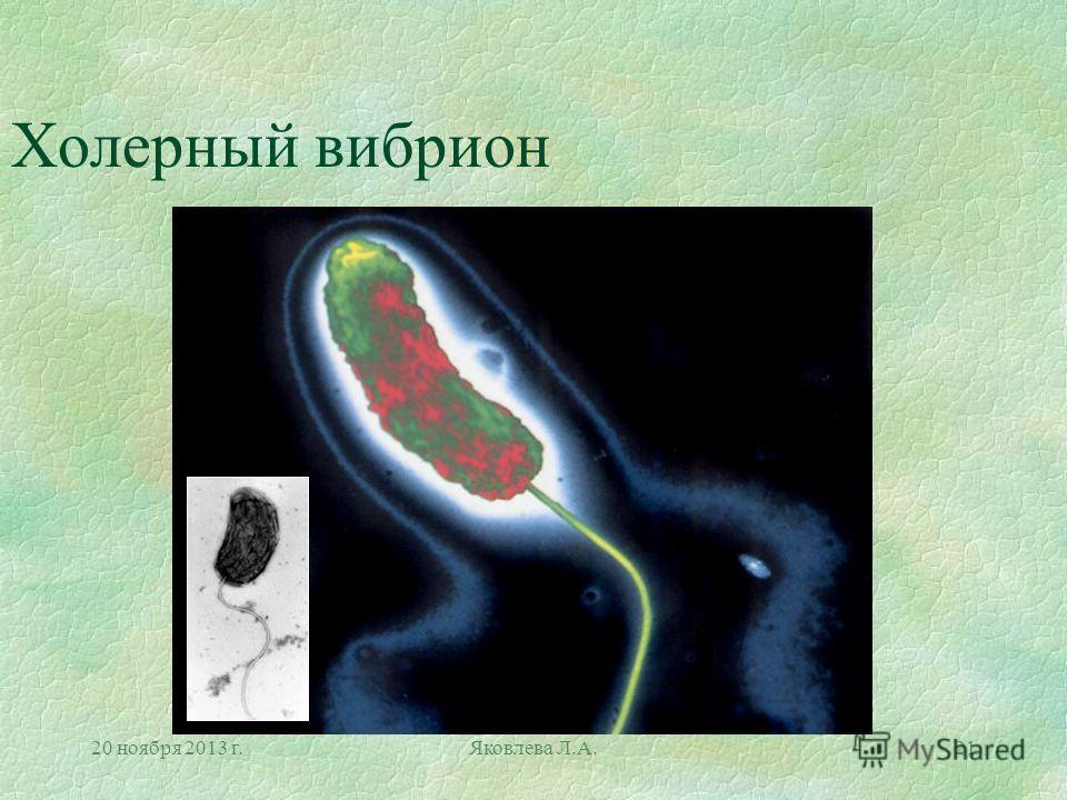20 ноября 2013 г.Яковлева Л.А.21 Холерный вибрион