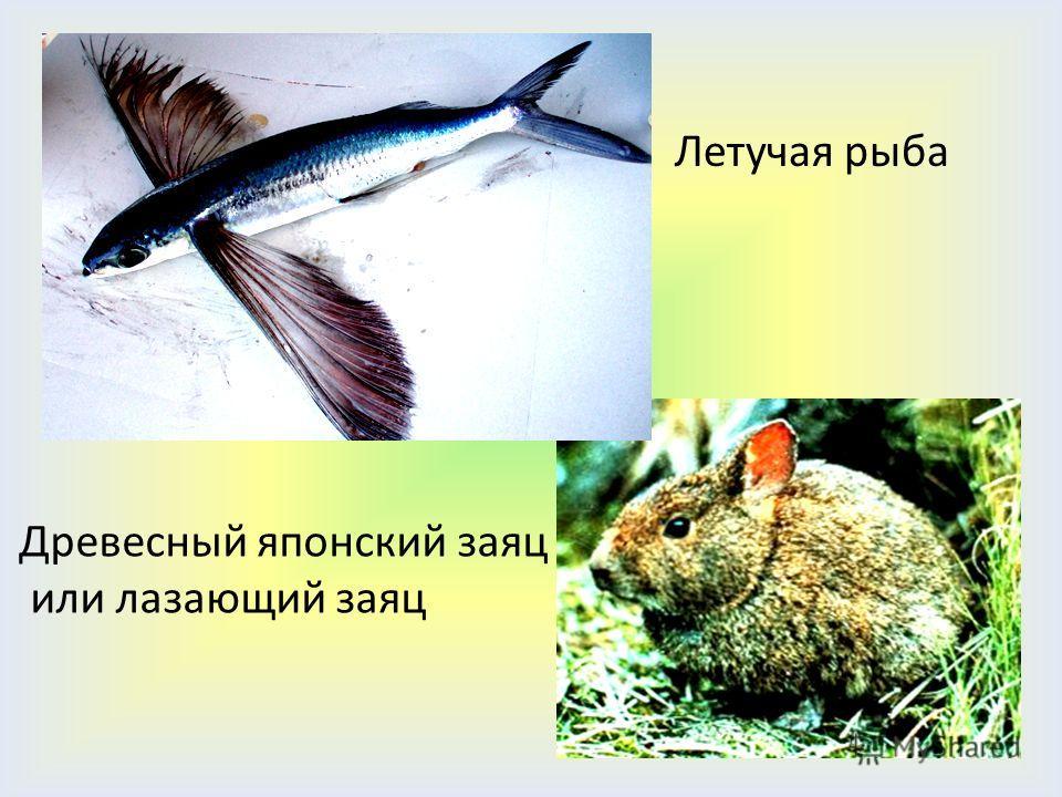 Летучая рыба Древесный японский заяц или лазающий заяц