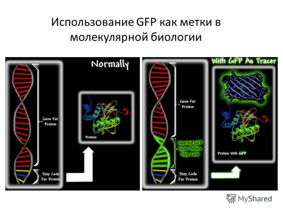 Использование GFP как метки в молекулярной биологии