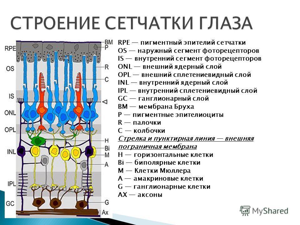 RPE пигментный эпителий сетчатки OS наружный сегмент фоторецепторов IS внутренний сегмент фоторецепторов ONL внешний ядерный слой OPL внешний сплетениевидный слой INL внутренний ядерный слой IPL внутренний сплетениевидный слой GC ганглионарный слой B