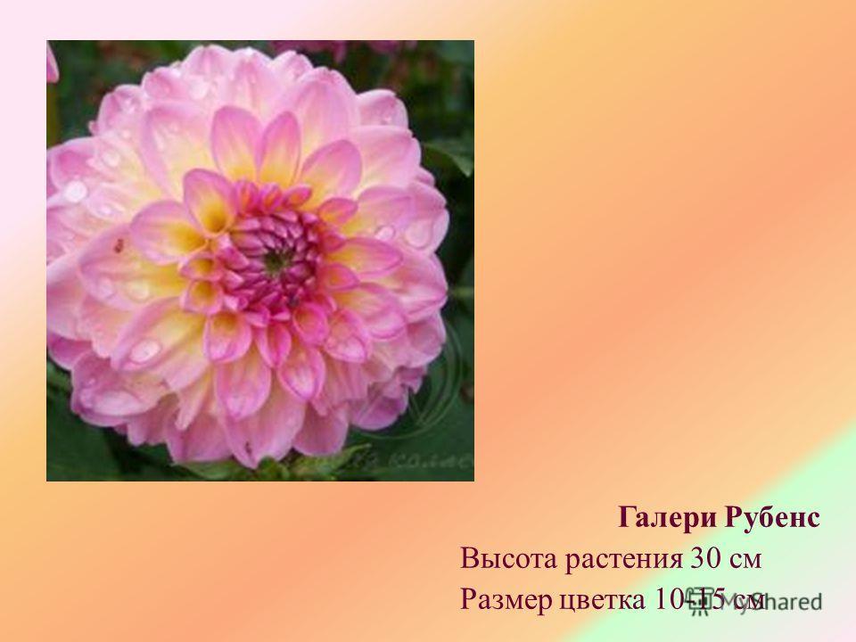 Галери Рубенс Высота растения 30 см Размер цветка 10-15 см