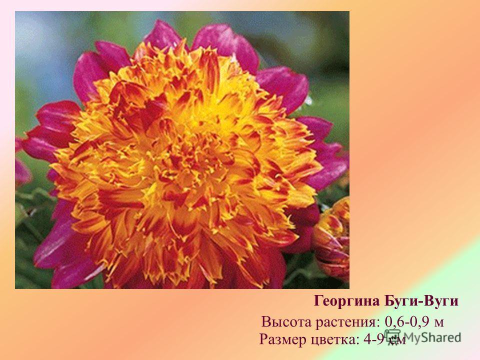Георгина Буги-Вуги Высота растения: 0,6-0,9 м Размер цветка: 4-9 см