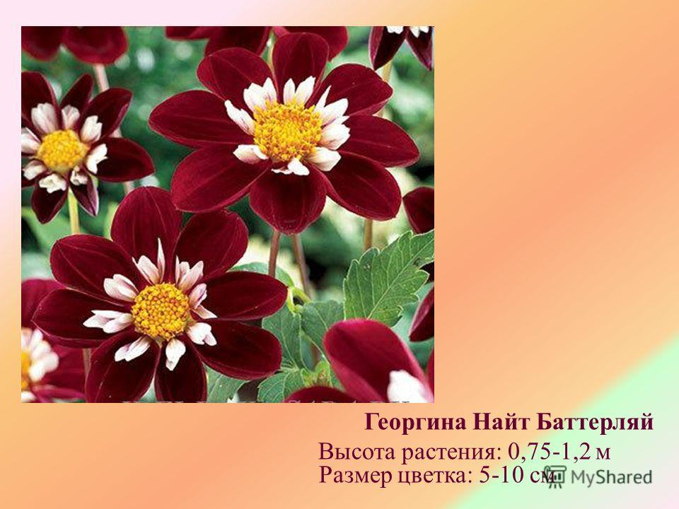 Георгина Найт Баттерляй Высота растения: 0,75-1,2 м Размер цветка: 5-10 см