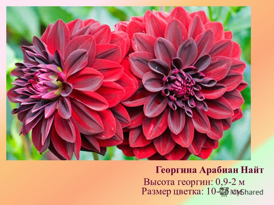 Георгина Арабиан Найт Высота георгин: 0,9-2 м Размер цветка: 10-25 см