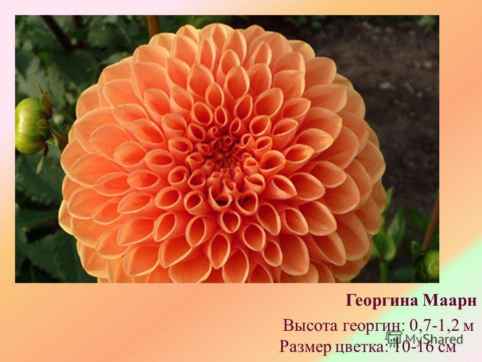 Георгина Маарн Высота георгин: 0,7-1,2 м Размер цветка: 10-16 см