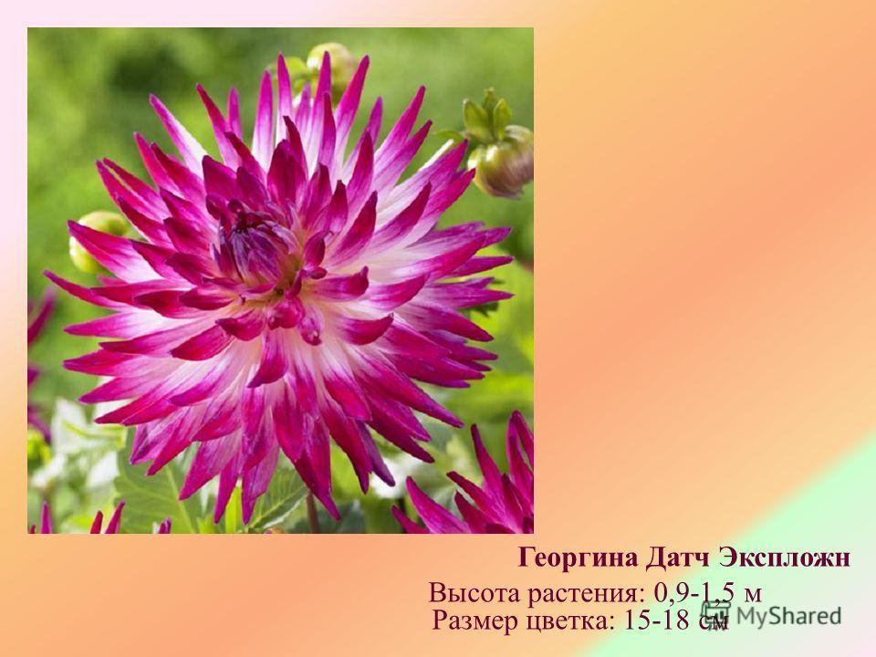 Георгина Датч Экспложн Высота растения: 0,9-1,5 м Размер цветка: 15-18 см