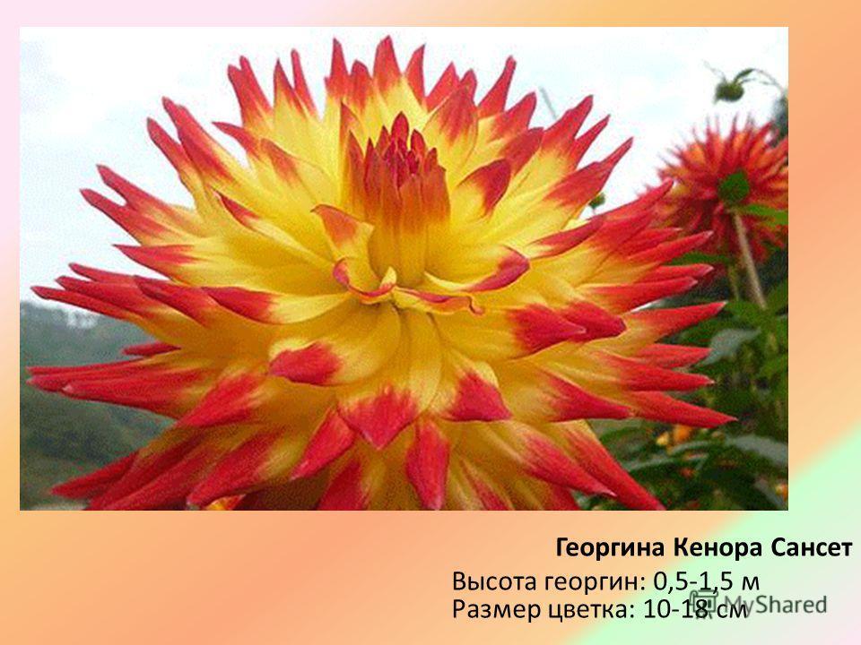 Георгина Кенора Сансет Высота георгин: 0,5-1,5 м Размер цветка: 10-18 см