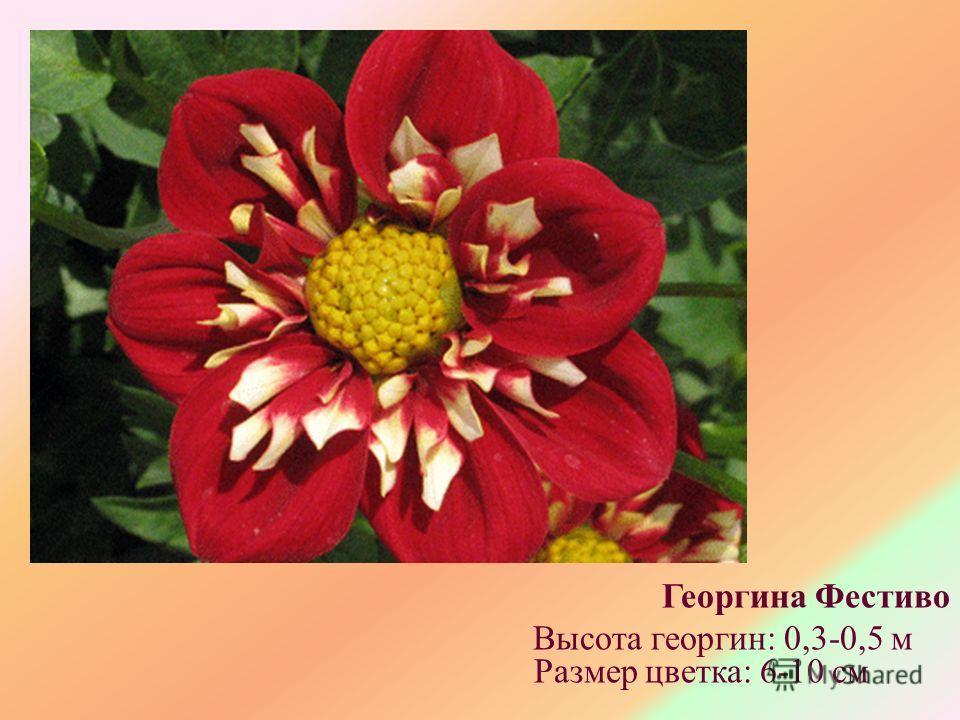 Георгина Фестиво Высота георгин: 0,3-0,5 м Размер цветка: 6-10 см