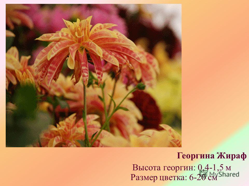Георгина Жираф Высота георгин: 0,4-1,5 м Размер цветка: 6-20 см