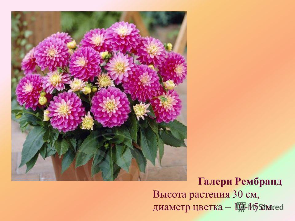 Галери Рембранд Высота растения 30 см, диаметр цветка – 10-15 см.