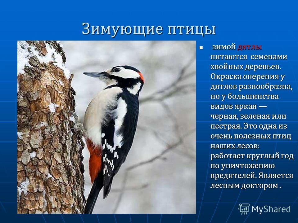 Зимующие птицы зимой дятлы питаются семенами хвойных деревьев. Окраска оперения у дятлов разнообразна, но у большинства видов яркая черная, зеленая или пестрая. Это одна из очень полезных птиц наших лесов: работает круглый год по уничтожению вредител