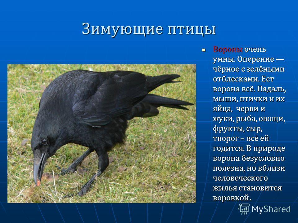 Зимующие птицы Вороны очень умны. Оперение чёрное с зелёными отблесками. Ест ворона всё. Падаль, мыши, птички и их яйца, черви и жуки, рыба, овощи, фрукты, сыр, творог – всё ей годится. В природе ворона безусловно полезна, но вблизи человеческого жил