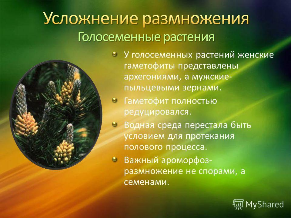 У голосеменных растений женские гаметофиты представлены архегониями, а мужские- пыльцевыми зернами. Гаметофит полностью редуцировался. Водная среда перестала быть условием для протекания полового процесса. Важный ароморфоз- размножение не спорами, а